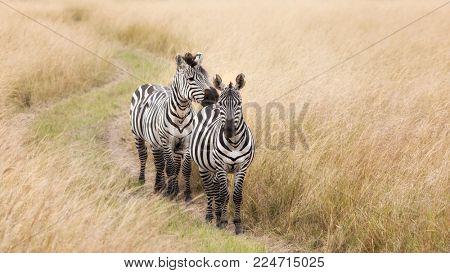 A pair of Grevys zebra walking a track through the grasslands of the Masai Mara, Kenya