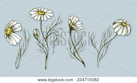 Chamomile flower vector clip artChamomile flower vector clip art set of 4 hand drawn herbal image