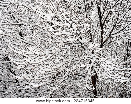 Tree branches covered with snow close-up