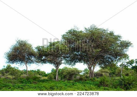 portrait of a group of trees on wild nature isolated on white background