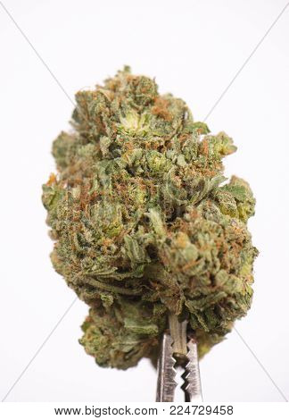 Detail of dried cannabis bud (scout master strain) isolated over white background