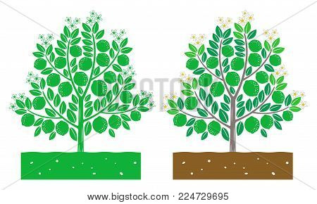 isolated lime tree with fruit vector illustration