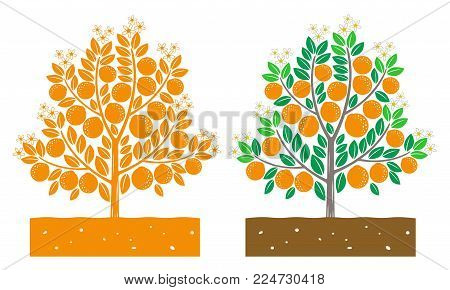 isolated orange tree with fruit vector illustration