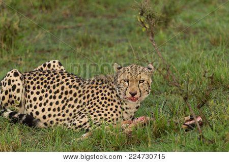 cheetah devouring its prey in the Maasai Mara, Kenya