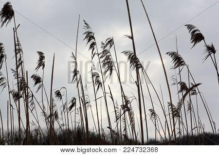 Tall dry grass sways, against the grey sky