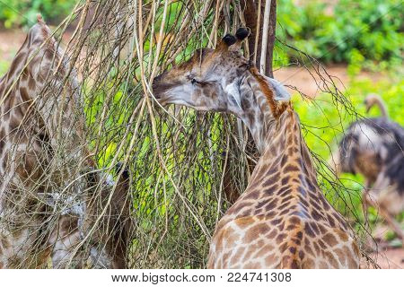 Giraffe Eating from a Sausage Tree, Nature