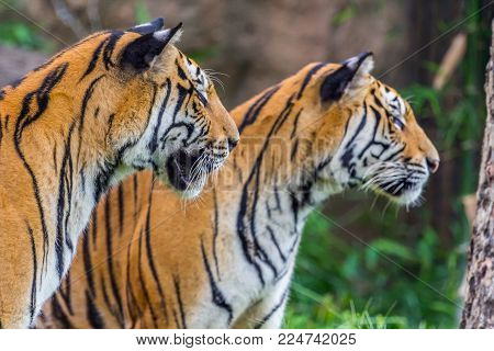 Two tiger close  the them eye, Nature