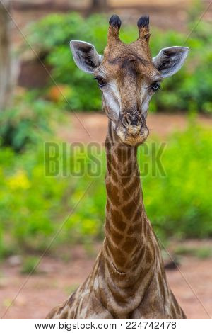 Face Of Masai Giraffe Eating With Green Nature