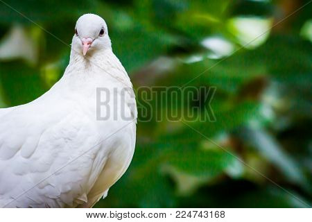 Face Of Pied Imperial Pigeon Bird Catch  On The Tree