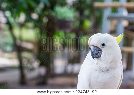 Lovely Yellow-crested Cockatoo In The Park With Nature Background