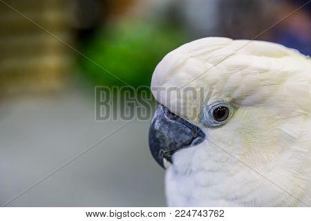 Eye Of Yellow-crested Cockatoo (cacatua Sulphurea) ,nature
