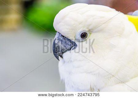 Head Of Yellow-crested Cockatoo (cacatua Sulphurea)  In The Park