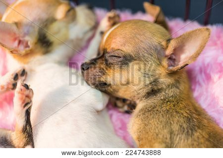 Lovely Baby Chihuahua Taking A Nap, Nature Background