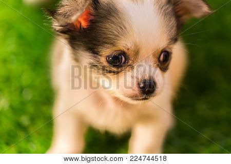 Lovely Baby Chihuahua  Taking A Nap, Nature