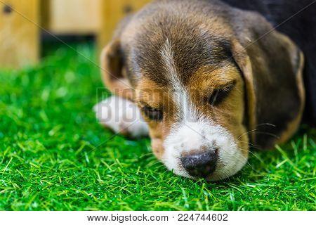 Baby Beagle Dog Sleeping On The Floor