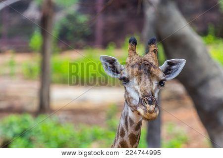 Face Of Masai Giraffe  Peaks Around Bush