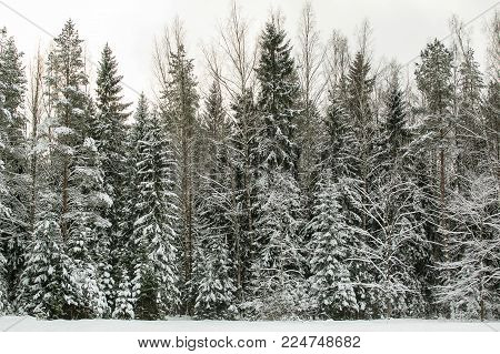 Beautiful coniferous forest covered with snow at winter day