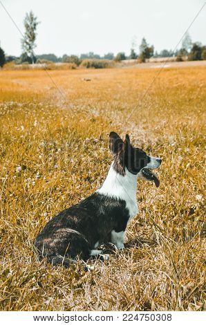Welsh Cardigan Corgi Dog Is Lost On Nature