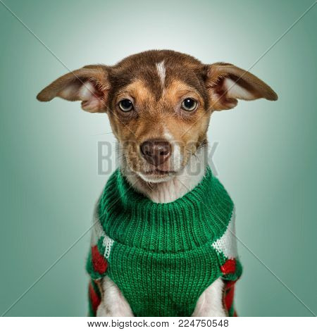 Jack Russell Terrier in green sweater against green background