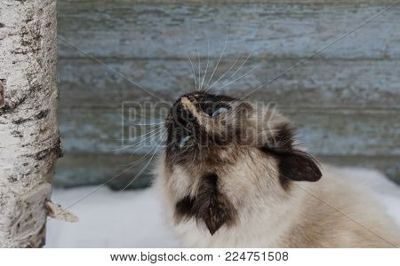 Closeup portrait of siberian cat at snow background