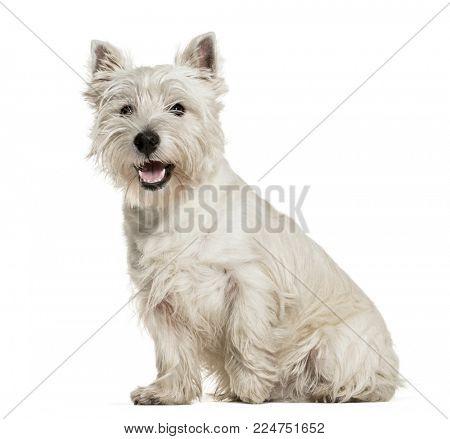 West Highland White Terrier sitting against white background