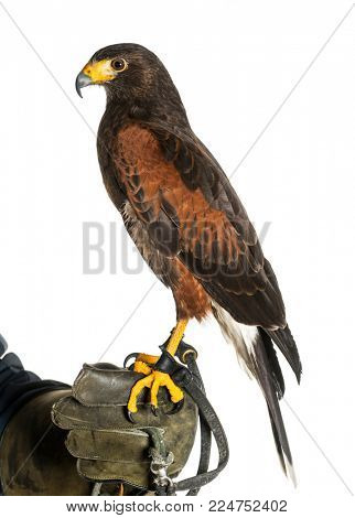 Harris's hawk, Parabuteo unicinctus, perching on falconer's glove against white background