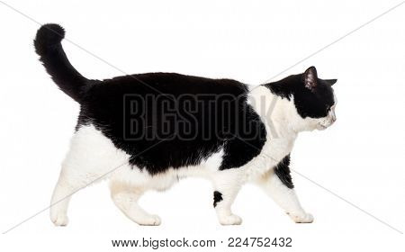 Mixed breed cat walking against white background