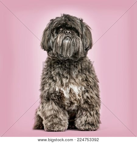 Shih Tzu sitting against pink background