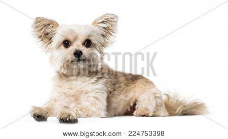 Mixed breed dog lying against white background