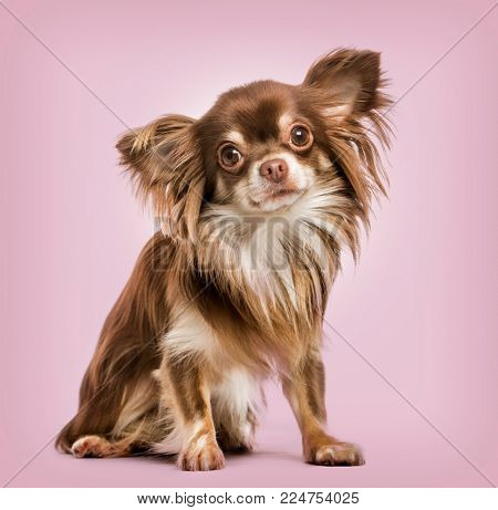 Continental Toy Spaniel against pink background