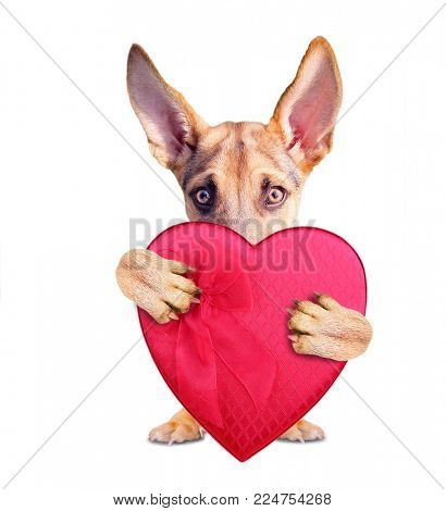 cute german shepherd puppy holding a red heart shaped box of chocolates for valentine's day isolated on a white background