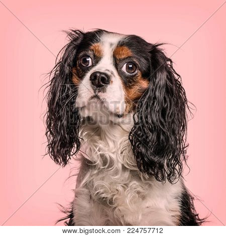 Cavalier King Charles Spaniel looking at camera against pink background