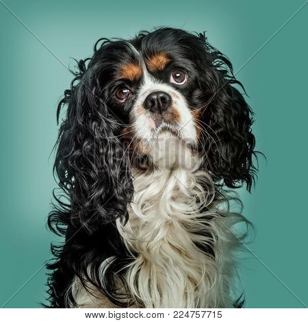 Close-up of Cavalier King Charles Spaniel against green background
