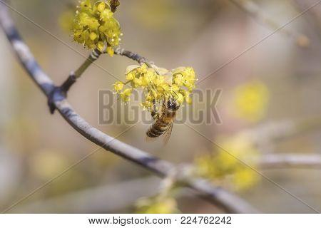 Single bee collect pollen from cornus mas flowers