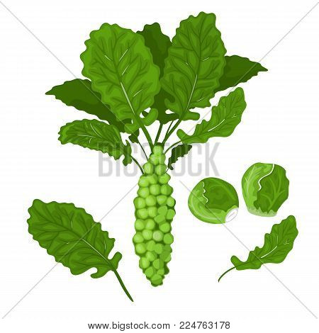 Green cabbages and brussel sprouts illustration. Stock vector.