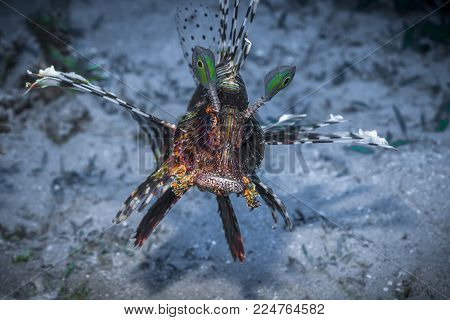 A Colorful Lionfish Spreading its Fins Underwater