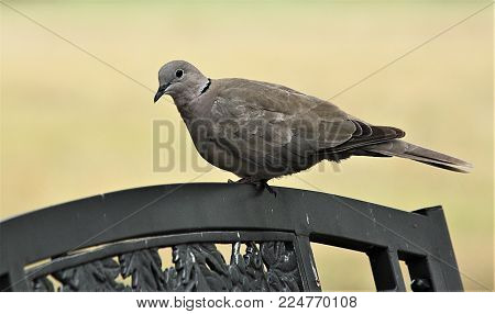 Close-up of an Eurasian collared dove sitting on the top of a park bench,with a light green background.