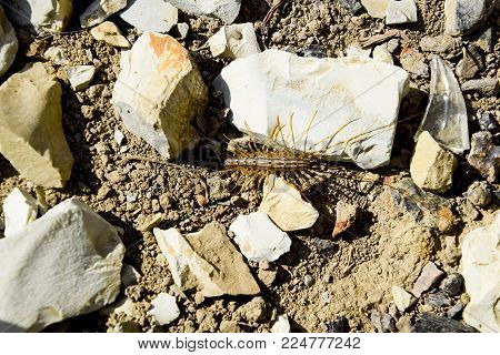 Scutigera Coleoptera runs on the ground with stones. The Flycatcher. Centipede flycatcher, insect predator.