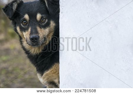 Black mix breed dog looking in camera out of wall. Closeup template portrait of cute young mongrel puppy.