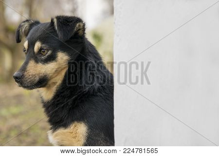 Cute mongrel dog outdoors. Closeup of young black mixed breed doggy sitting near white wall background.