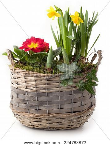 Spring flowers in planting pot isolated against white background
