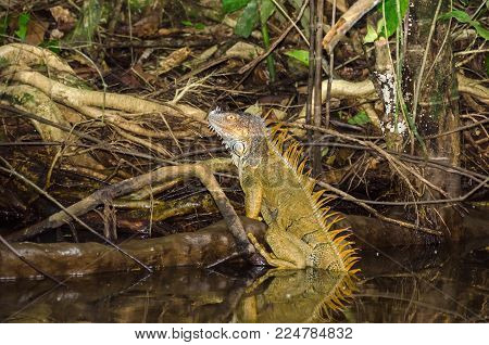 Bright colored male green iguana (Iguana iguana) or the American iguana, climbing out of the water in Tortuguero National Park, Costa Rica