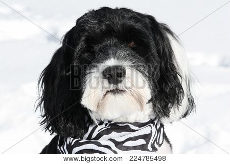 Portrait of a black and white Portuguese Water dog wearing a bandana