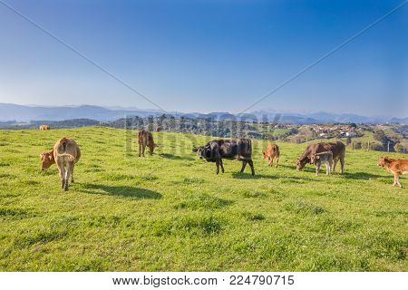 herd of brown and black cows grazing grass in the countryside of mountains in Cantabria, Spain, Europe. One looking at