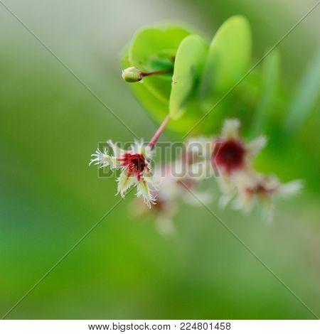 Phyllanthus Pulcher Plant In Nature Garden