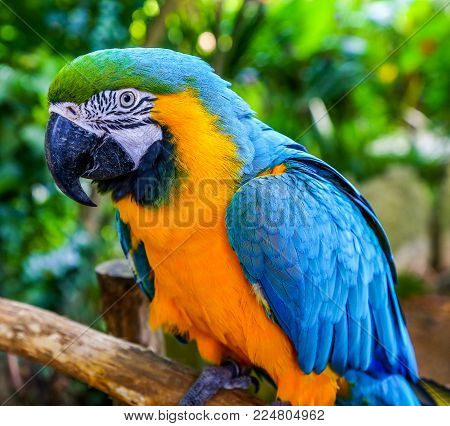 Blue-and-yellow macaw (Ara ararauna), Coloreful Macaw parrot