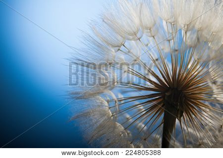 big dandelion on a blue background