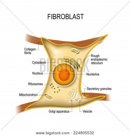 Fibroblast is a dermis cell (vital to the skin's strength and elasticity). Structure of Fibroblast cell.
