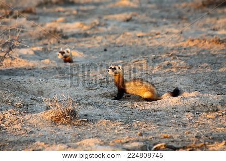 Steppe weasels or Masked polecats (Mustela eversmanii) hunting in natural habitat of Kyzyl Kum desert in the evening, Uzbekistan
