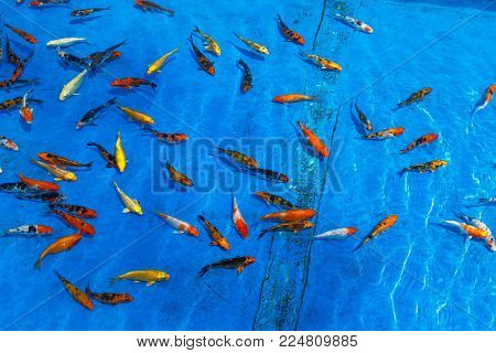 goldfish floating in transparent water, blue background